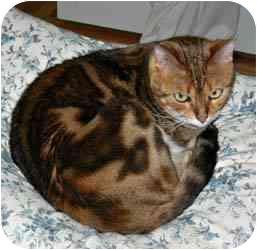 Bengal Cat for adoption in Redwood City, California - Sheba And Tigger