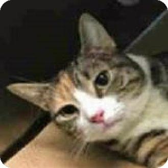 Domestic Shorthair Cat for adoption in Medford, Massachusetts - Cato