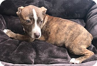 American Pit Bull Terrier Mix Puppy for adoption in Garland, Texas - Bogey