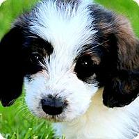 Adopt A Pet :: DEE DEE(PETIT BASSET GRIFFON