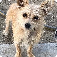 Adopt A Pet :: Moxy - Las Vegas, NV