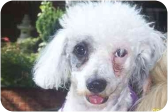 Chinese Crested Mix Dog for adoption in Long Beach, New York - Freckles