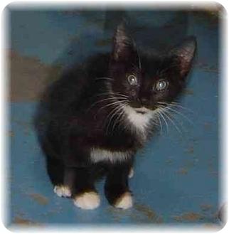 Domestic Shorthair Kitten for adoption in Naples, Florida - Alice