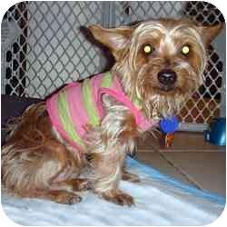 Yorkie, Yorkshire Terrier Mix Dog for adoption in Fairfax, Virginia - Lena