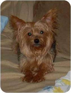 Yorkie, Yorkshire Terrier Dog for adoption in Charlotte, North Carolina - Lily