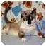Photo 1 - Siamese Cat for adoption in Turlock, California - Amber Lee