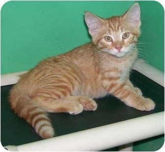 Domestic Shorthair Kitten for adoption in Somerset, Pennsylvania - Dobbs