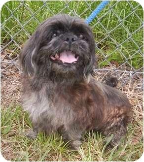 Shih Tzu/Shih Tzu Mix Dog for adoption in Umatilla, Florida - Mannie