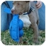 Photo 4 - American Pit Bull Terrier Puppy for adoption in Bellflower, California - Brando