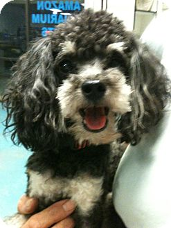 Poodle (Toy or Tea Cup) Dog for adoption in Phoenix, Arizona - Ollie