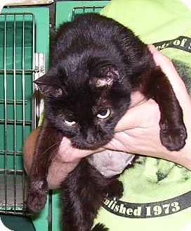 Domestic Shorthair Cat for adoption in Somerset, Pennsylvania - Lucille