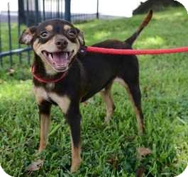 Miniature Pinscher Mix Dog for adoption in Houston, Texas - Doobie Doo
