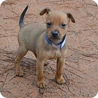 Adopt A Pet :: Champ - Athens, GA
