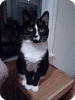 Domestic Shorthair Cat for adoption in Huntington Station, New York - FARRAH