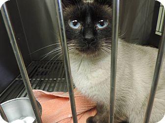 Siamese Cat for adoption in Fremont, Nebraska - Sebastian