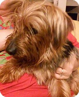 Yorkie, Yorkshire Terrier/Silky Terrier Mix Dog for adoption in Lorain, Ohio - Hershel