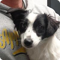 Adopt A Pet :: Poppy - Greencastle, NC