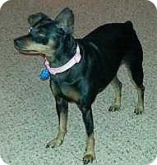 Miniature Pinscher Dog for adoption in McDonough, Georgia - Cami Sue