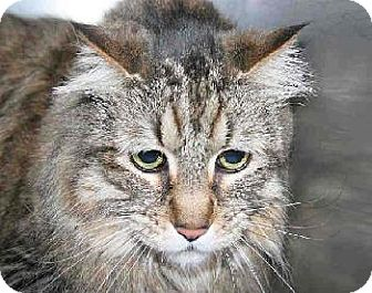 Maine Coon Cat for adoption in Oakland, California - Johnson