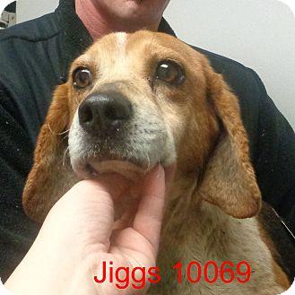 Beagle Dog for adoption in Greencastle, North Carolina - Jiggs