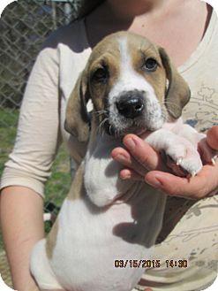 Foxhound/Catahoula Leopard Dog Mix Puppy for adoption in Williston Park, New York - Rebar