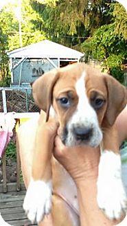 Boxer Mix Puppy for adoption in Zanesville, Ohio - Elsa