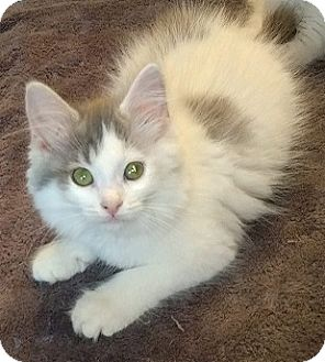 Domestic Longhair Kitten for adoption in Woodstock, Ontario - Primrose