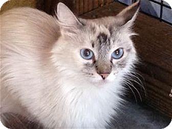 Siamese Cat for adoption in Lincoln, California - Tess
