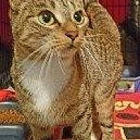 Domestic Shorthair Cat for adoption in Hampton, Virginia - MERCEDES 2