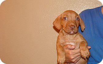 Corgi/Staffordshire Bull Terrier Mix Puppy for adoption in Oviedo, Florida - Miller
