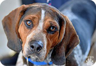 Bluetick Coonhound Mix Dog for adoption in Martinsville, Indiana - Gator
