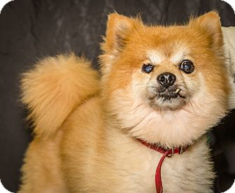 Pomeranian Mix Dog for adoption in Martinsville, Indiana - Koda