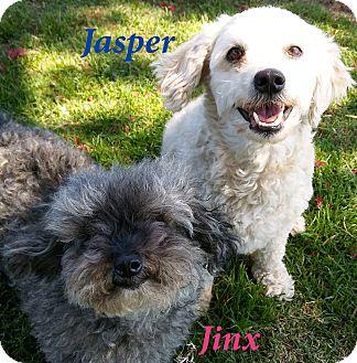 Poodle (Miniature)/Maltese Mix Dog for adoption in El Cajon, California - Jasper