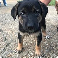 Adopt A Pet :: Derry (adoption pending) - Morrisville, NC