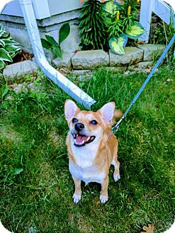 Chihuahua/Corgi Mix Dog for adoption in Grand Rapids, Michigan - Arthur