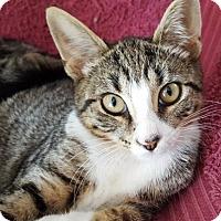 Adopt A Pet :: Boots - Fishkill, NY