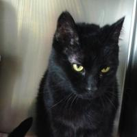 Domestic Shorthair/Domestic Shorthair Mix Cat for adoption in Antigo, Wisconsin - Licorice