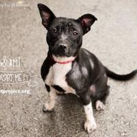 Adopt A Pet :: Sumi - Kansas City, MO