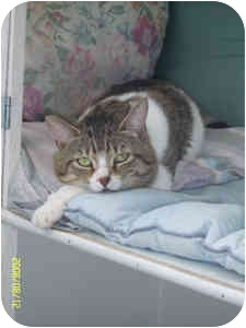 Domestic Shorthair Cat for adoption in Elliot Lake, Ontario - Sparky