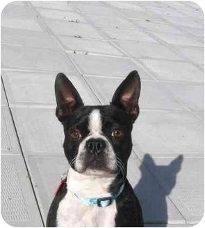Boston Terrier Dog for adoption in Ile-Perrot, Quebec - COCOTTE