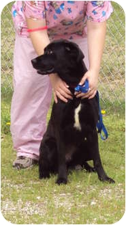 Boxer/Labrador Retriever Mix Dog for adoption in Cannelton, Indiana - Ebony