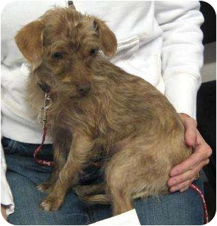 Terrier (Unknown Type, Small)/Chihuahua Mix Dog for adoption in Conroe, Texas - Coco