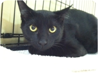 Bombay Kitten for adoption in Audubon, New Jersey - Mickey