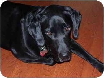 Labrador Retriever Dog for adoption in Cumming, Georgia - Mack