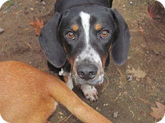 Basset Hound Mix Dog for adoption in Lebanon, Maine - Captain-LOCAL