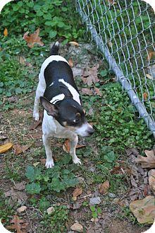 Rat Terrier Dog for adoption in North Little Rock, Arkansas - Rudy
