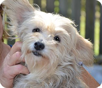 Yorkie, Yorkshire Terrier/Wirehaired Fox Terrier Mix Dog for adoption in Plainfield, Connecticut - Claire