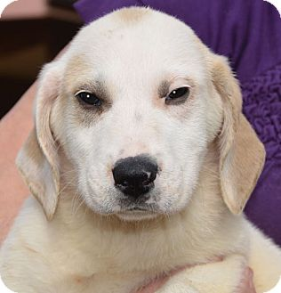 Great Pyrenees Mix Puppy for adoption in Plainfield, Connecticut - Lighting