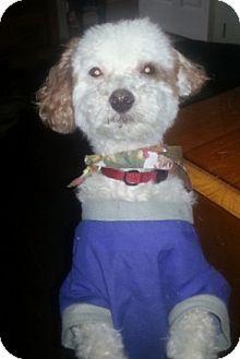 Poodle (Miniature) Dog for adoption in Treton, Ontario - Boomer
