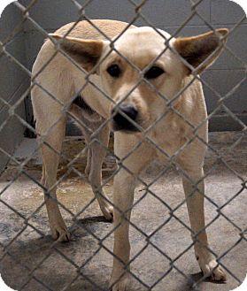 Carolina Dog Mix Dog for adoption in Sumter, South Carolina - CAROLINA DOG